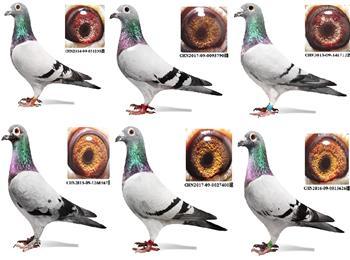 转让6只上海超远程吴淞血统种鸽