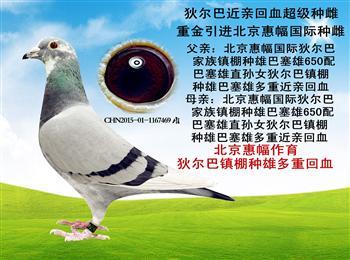 北京惠幅狄尔巴,北京爱亚卡普种鸽,公棚成绩鸽,原环清棚!!!
