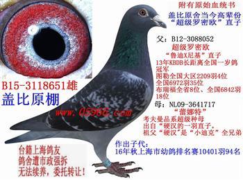 台籍上海鸽友鸽舍遭市政强拆,特此转让全棚种鸽。