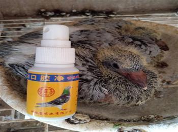 幼鸽口腔口黄一喷就干净,中国神鸽堂赛鸽纯中药不伤鸽子,不影响幼鸽发育