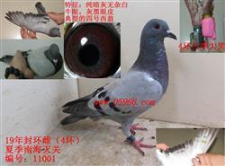 19年夏季南海灭关台鸽