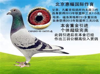 精品种鸽,全部出售,有喜欢的联系