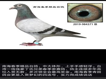 台湾职业强豪丁氏兄弟春季参赛鸽