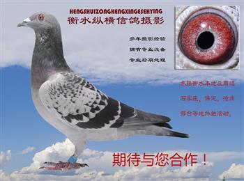 衡水纵横信鸽摄影