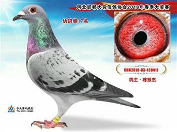 河北华美铭鸽文化传媒全国各地信鸽摄影服务……