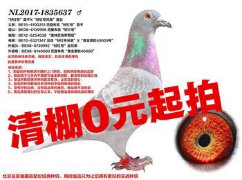北京清棚0元起拍!:好红号直孙、高位成绩鸽、经典铭血