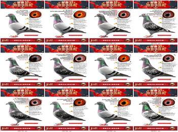 上海龙园庆祝五一国际劳动节,致敬信鸽者,精选优质种鸽,敬请挑选!!!